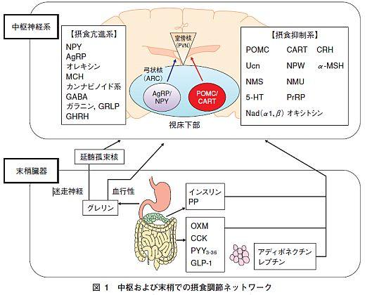 脳と胃腸での食欲調節機構の図