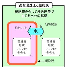 浸透圧の形成と水分の移動