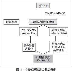 薬物の活性代謝物の求電子物質 フリーラジカル代謝物が産生されるプロセスの図示