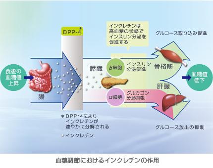 血糖調節におけるインクレチンの作用