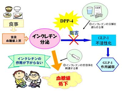 DPP-4によるインクレチンの分解