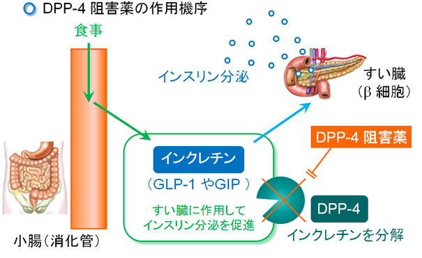 DPP-4阻害薬の作用機序