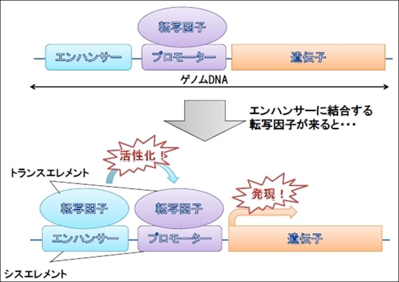 転写因子の説明