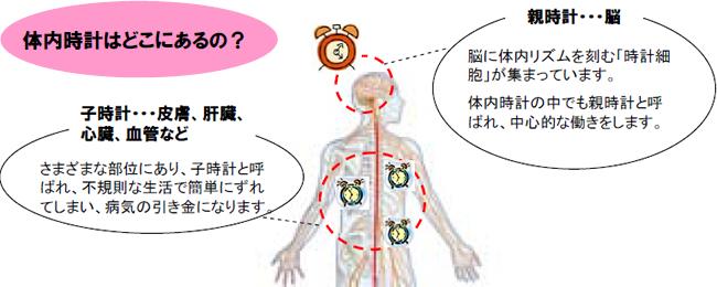 脳にある親時計と末梢の細胞にある子時計