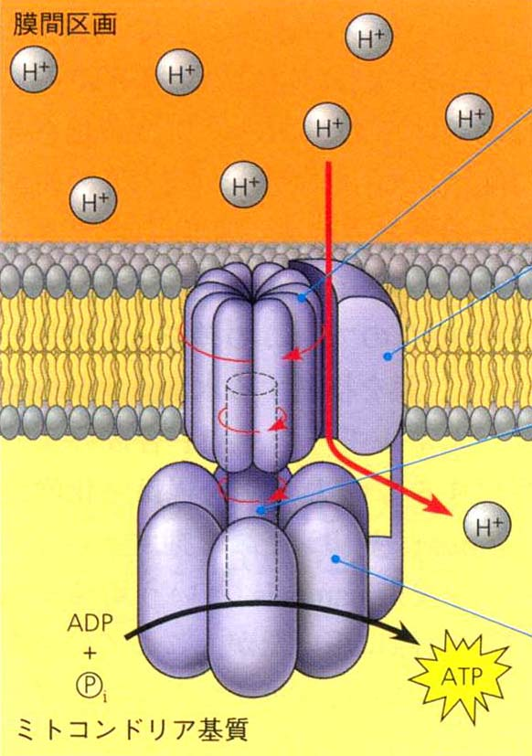 ATP合成酵素が回転する図