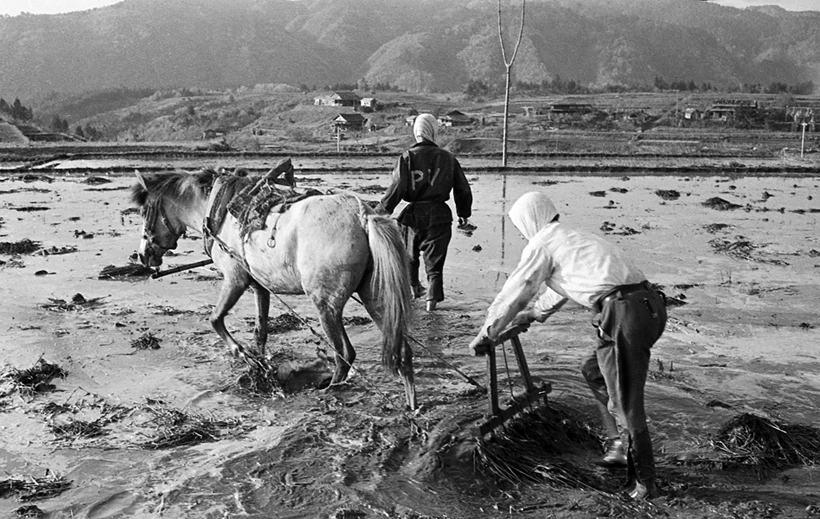 水田を耕す馬