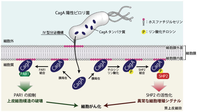 ピロリ菌で誘導される炎症