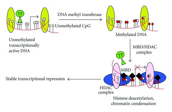 DNAのメチル化による転写抑制