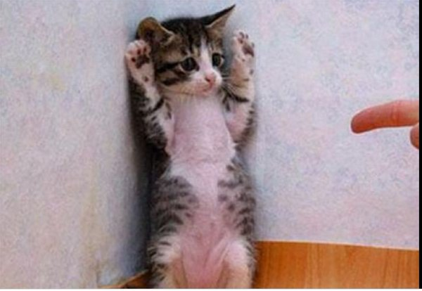 両手を上げ降伏ポーズのネコ1