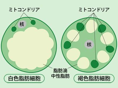 白色脂肪細胞 褐色脂肪細胞の写真