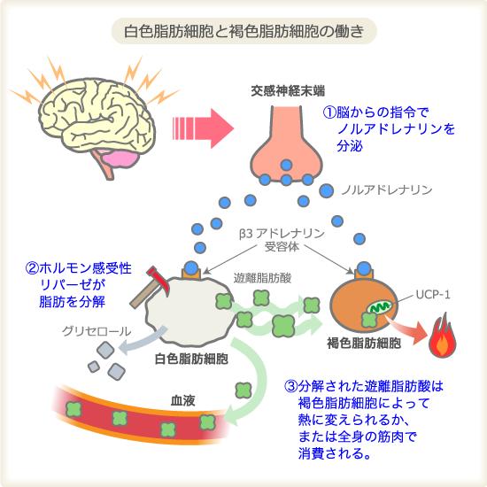 白色脂肪細胞 褐色脂肪細胞の働きを説明するイラスト