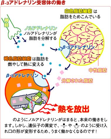 β3AR遺伝子の変異と白色脂肪細胞 褐色脂肪細胞の働きの関係を説明する図