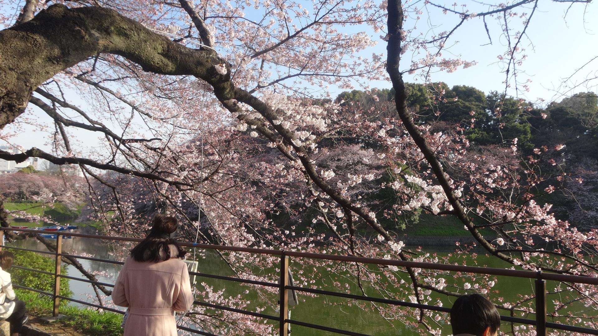 千鳥ヶ淵の桜その1