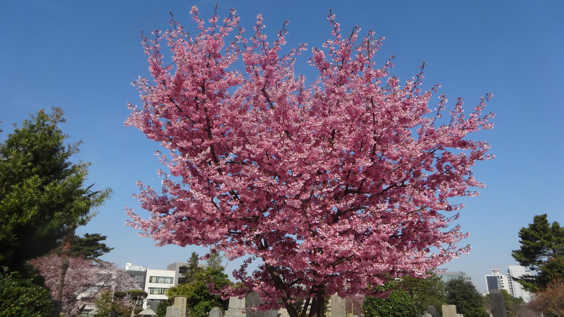 """""""色の濃い桜の写真"""