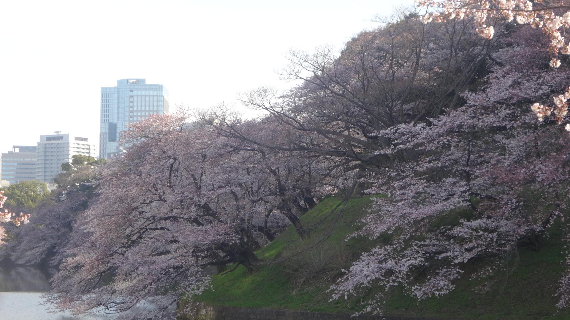 千鳥ヶ淵の桜その3