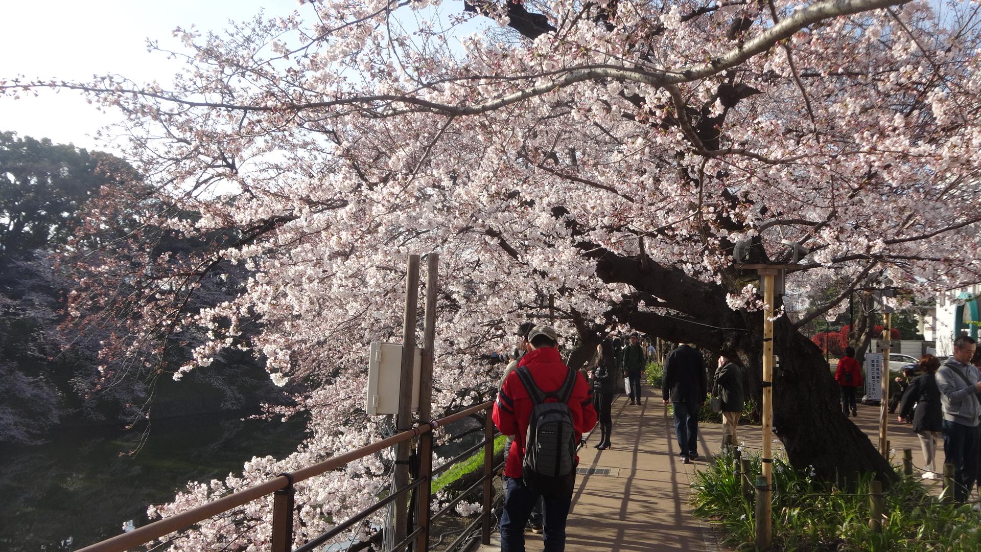 千鳥ヶ淵の桜その4