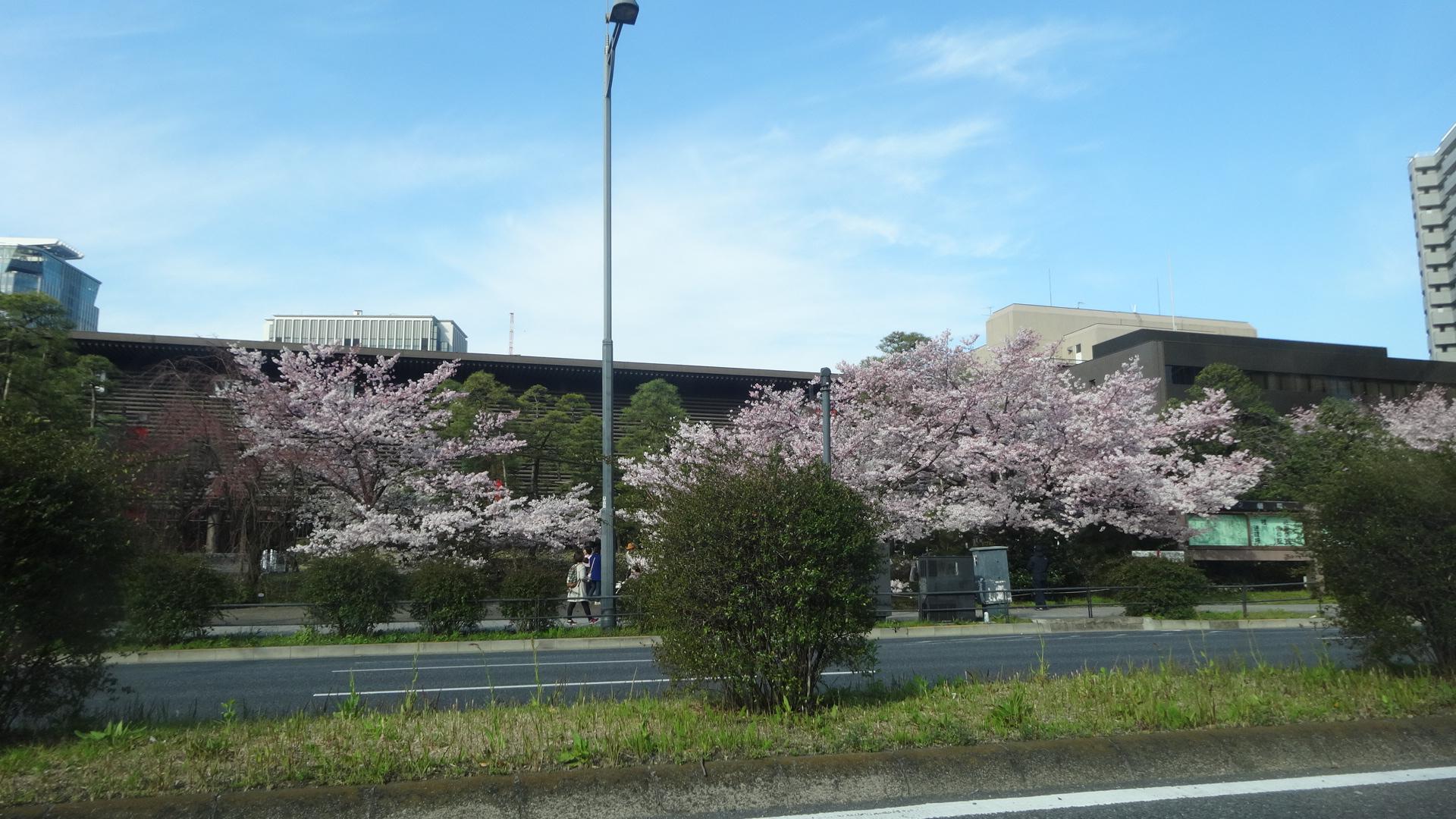 国立劇場の前の桜