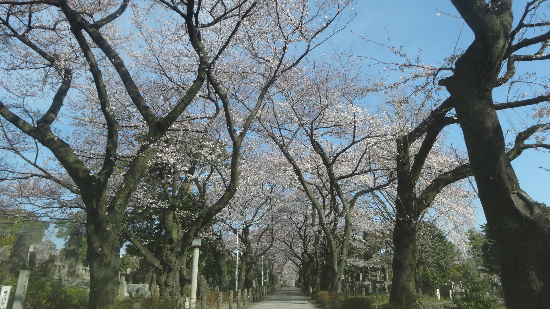 青山墓地の桜その1