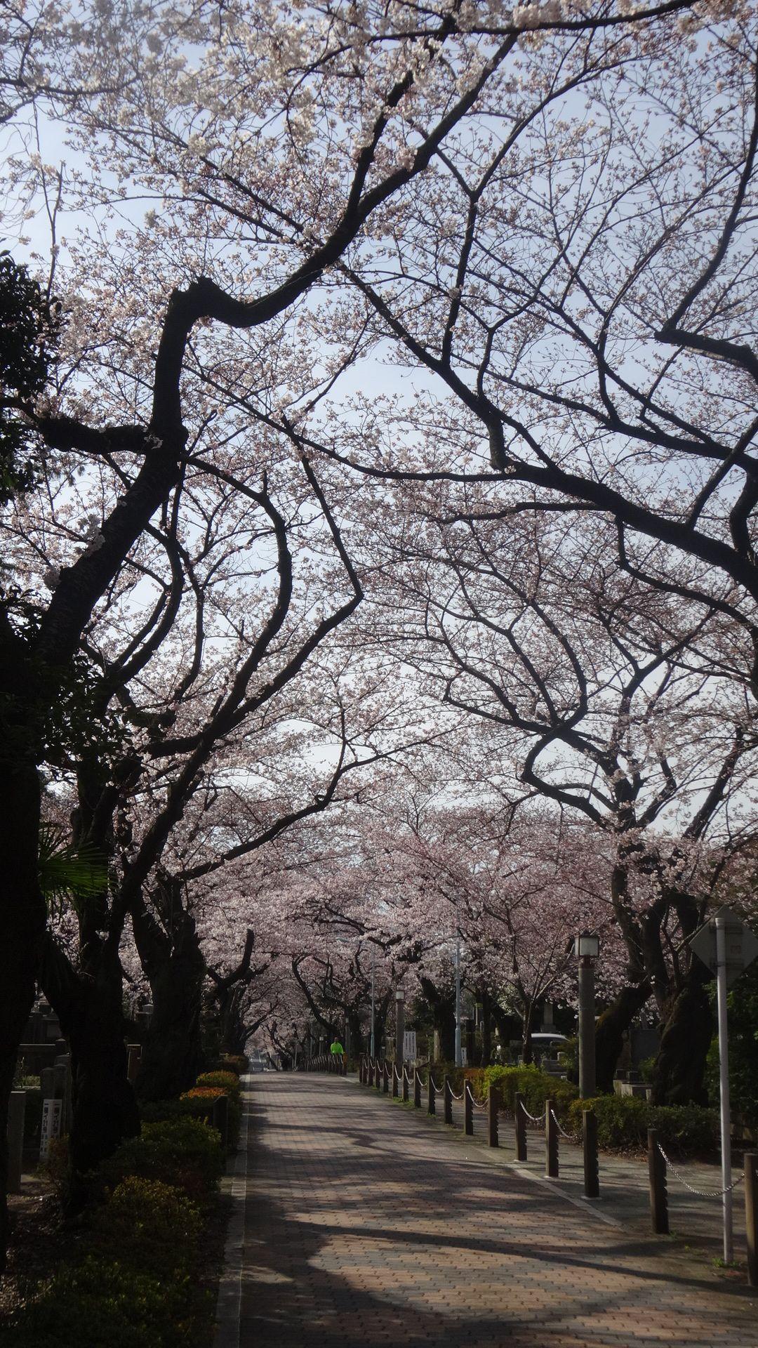 青山墓地の桜その2