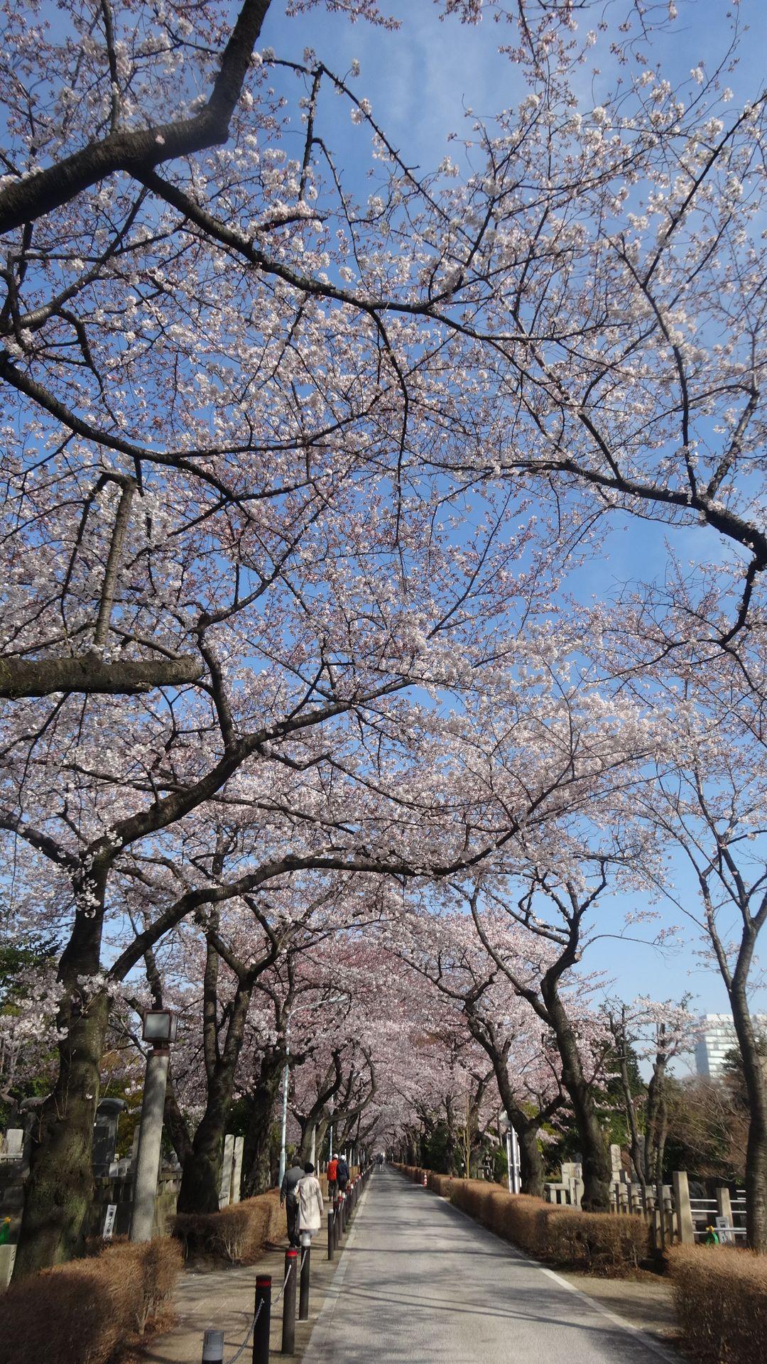 青山墓地の桜その3