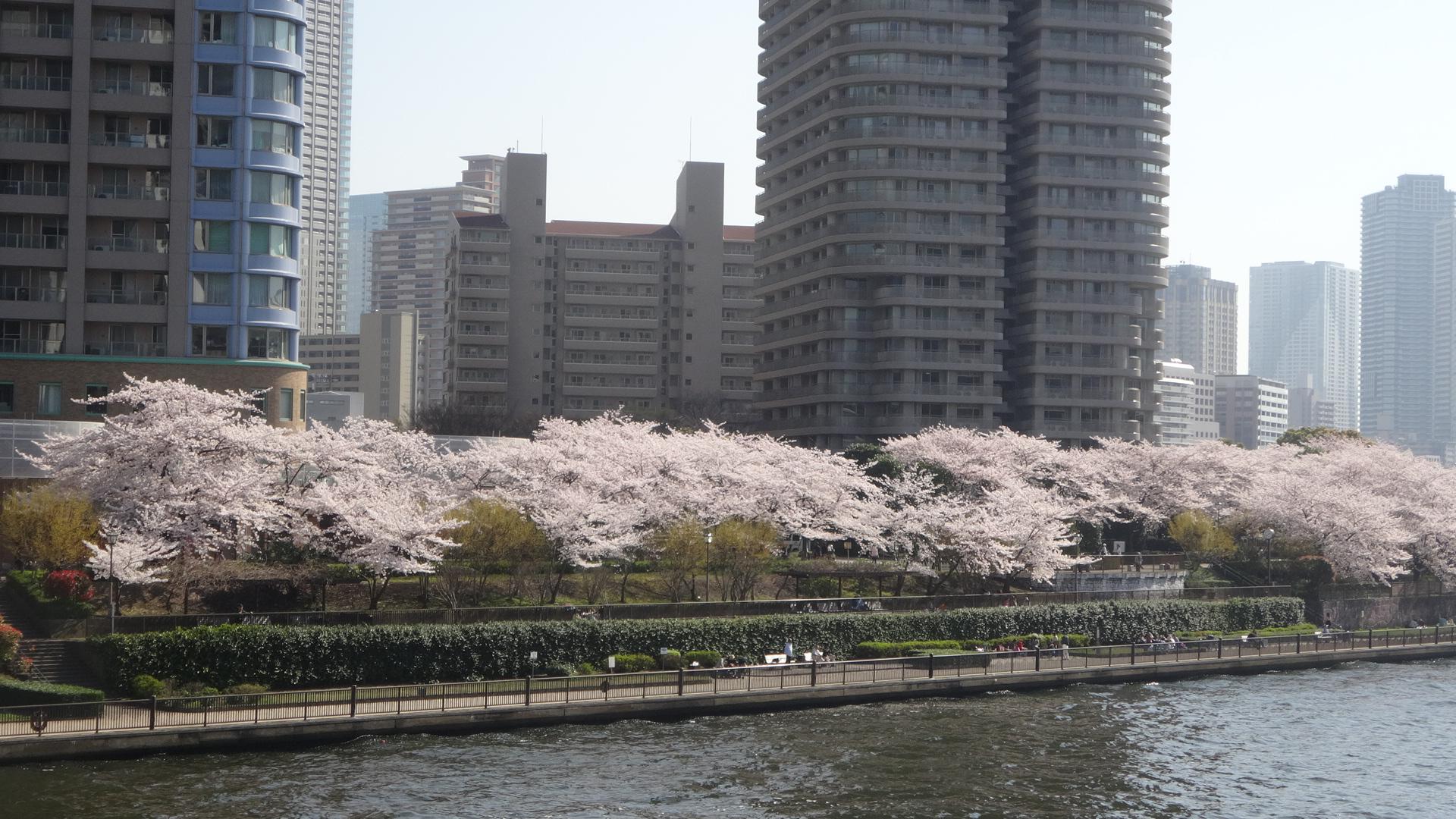 隅田川テラスの桜