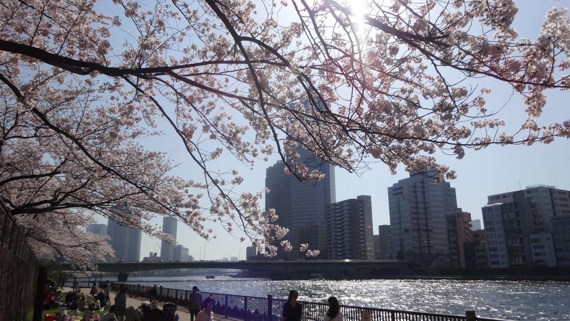 隅田川テラスの桜3