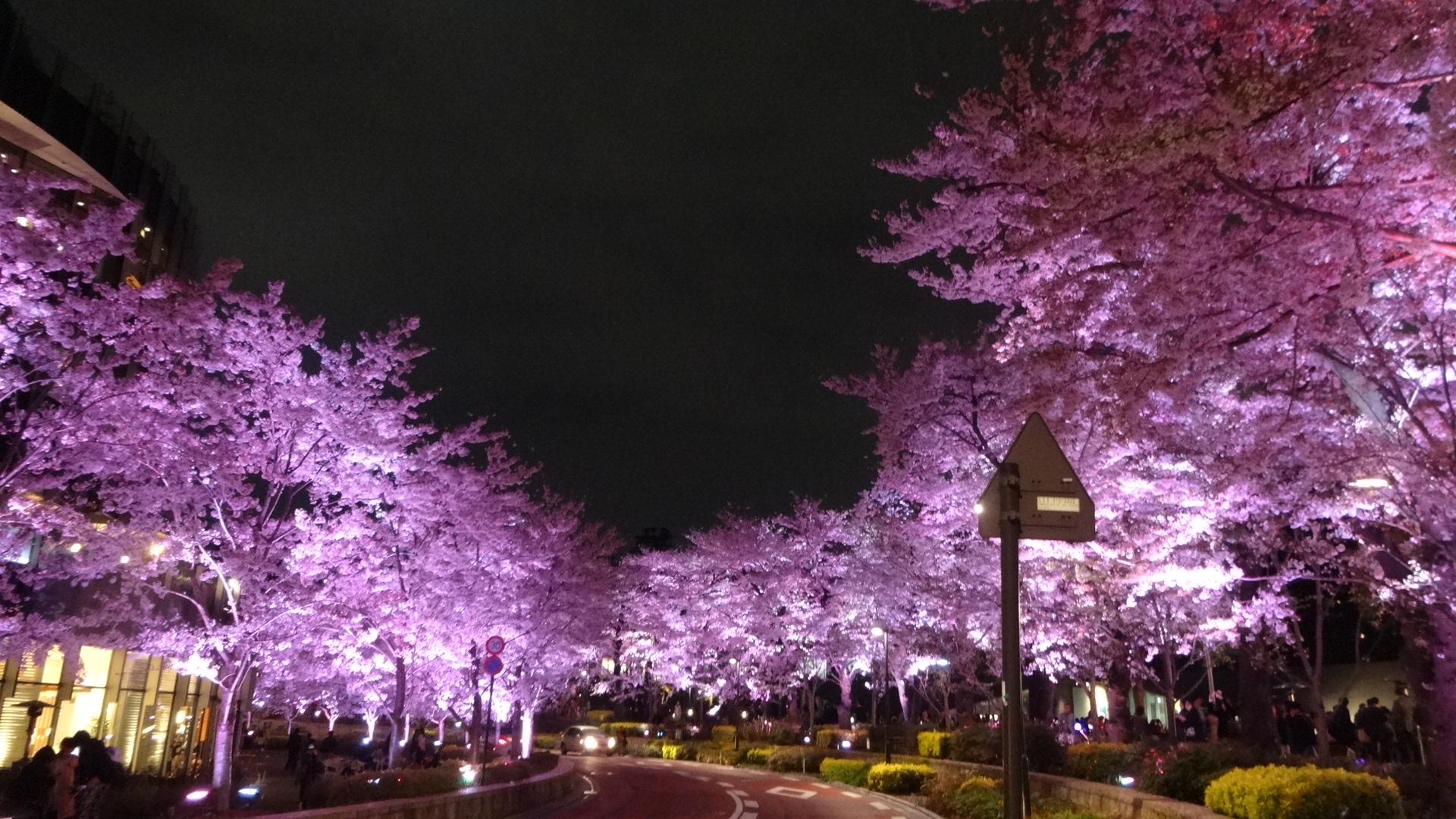 ミッドタウンの夜桜の写真その2
