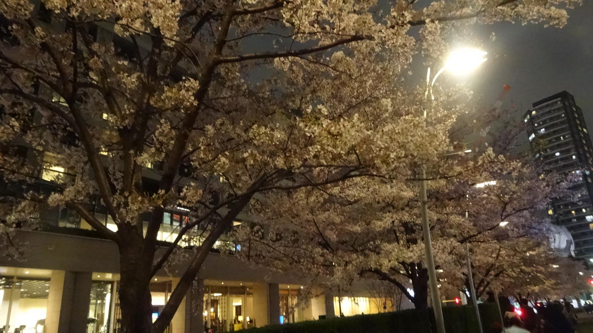 ミッドタウンの夜桜の写真その4
