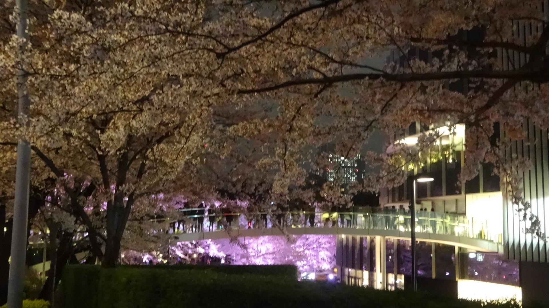 ミッドタウンの夜桜の写真その5