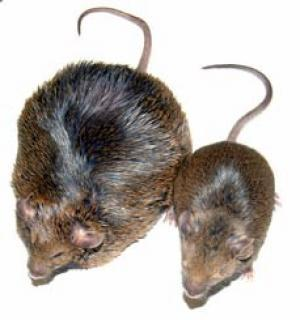 太ったマウスの写真