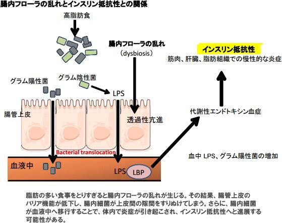 腸内細菌と慢性炎症とインスリン抵抗性の関係をまとめた図