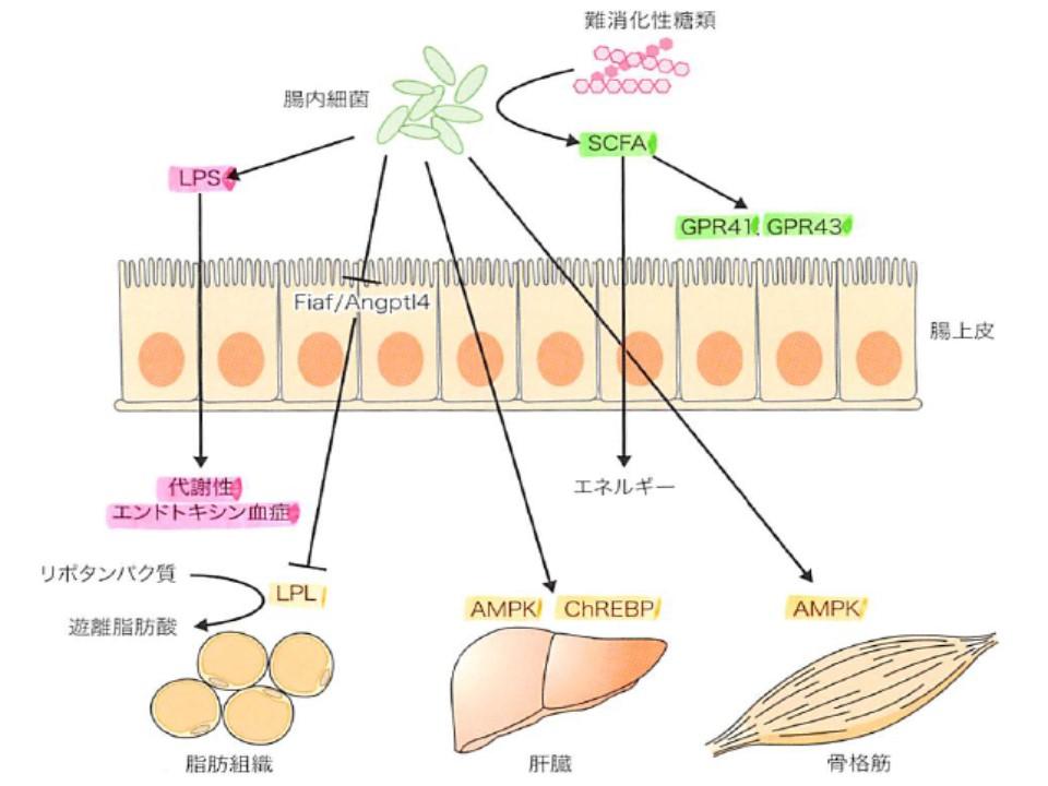 腸内細菌と肥満 耐糖能障害の関係を示した図