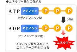 ATPからADPへの変換でエネルギーが放出されることを示した図