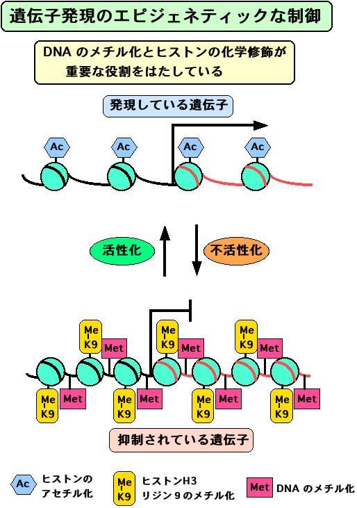 DNAのメチル化