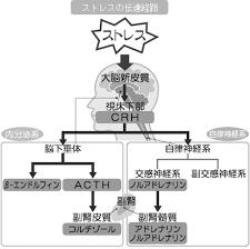 ストレスにより放出されるCRFがストレス反応を作動させる図