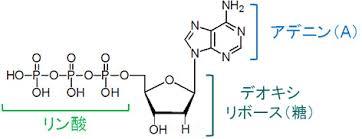 プリン塩基の分子構造