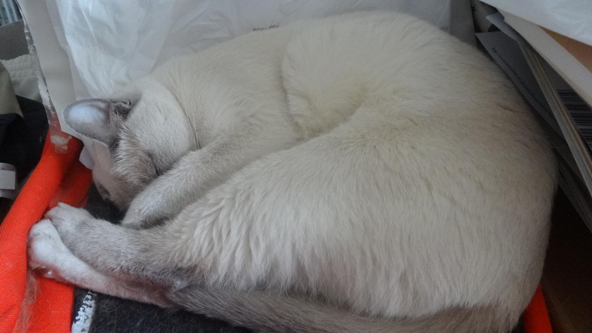 前足で目を隠して寝る楓