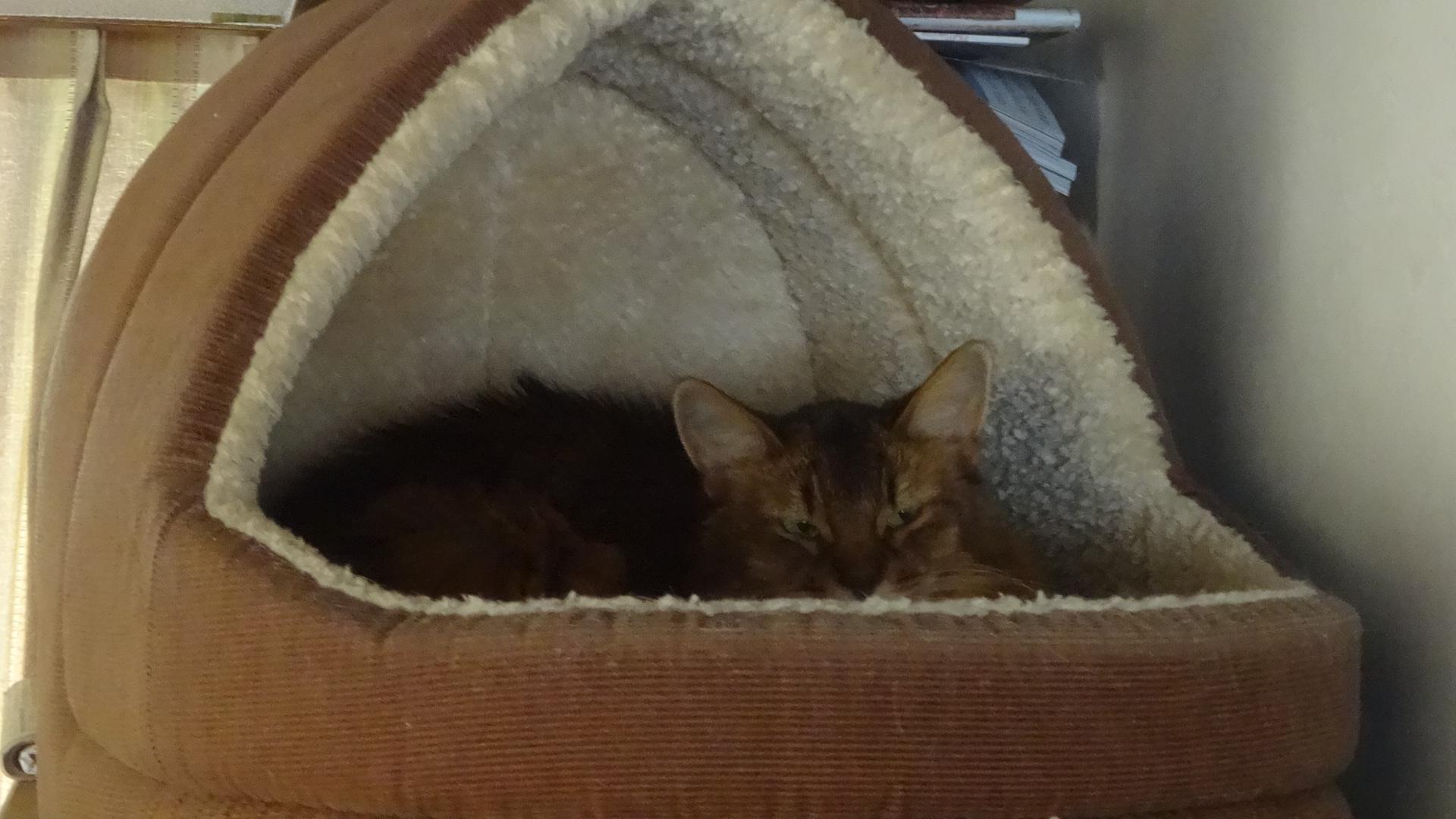 ネコ釜で寝るローズ