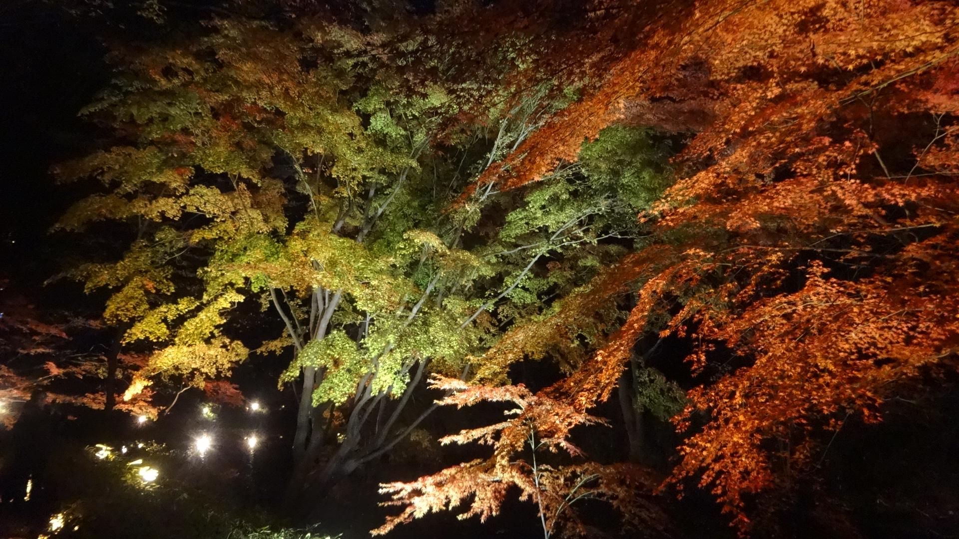 ライトアップされた紅葉3