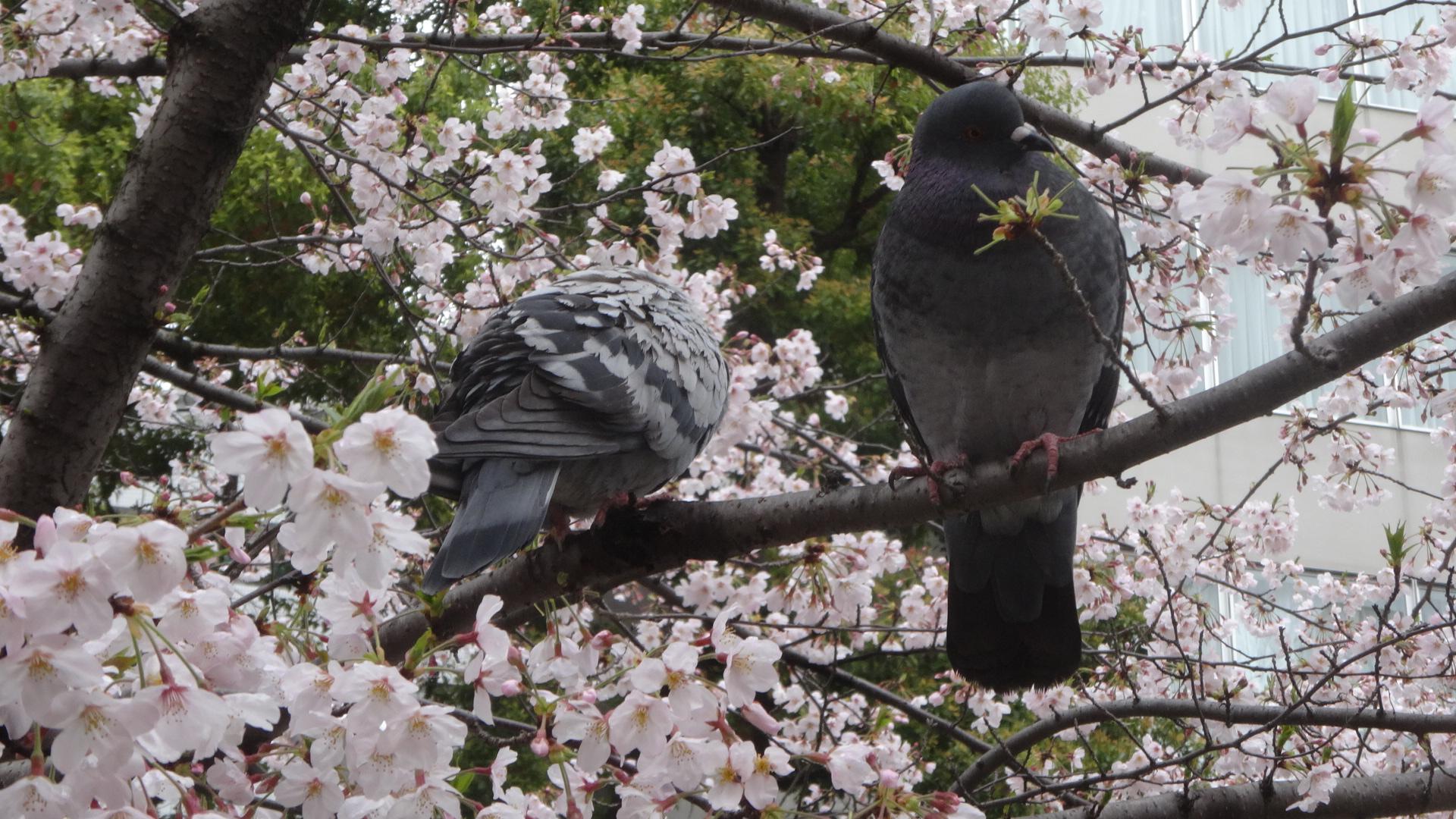 桜の木の枝で休むハト
