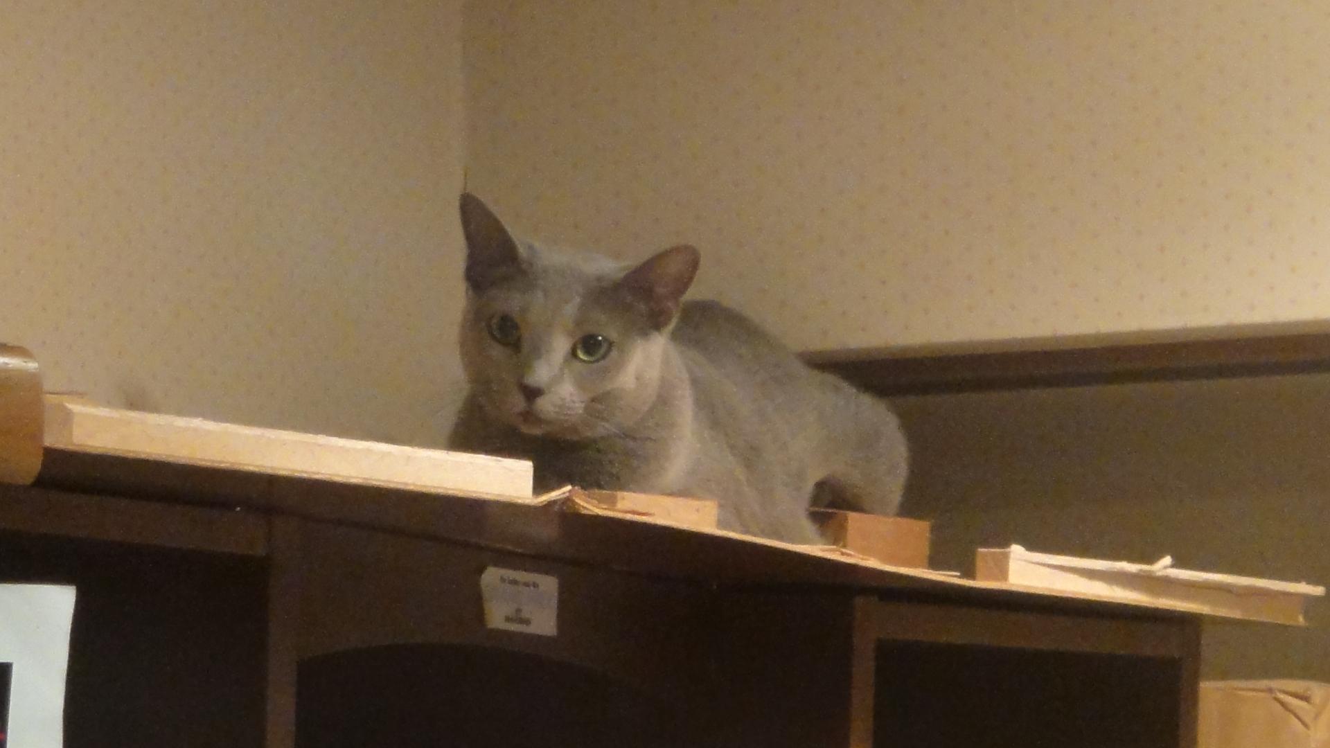 本棚の上で固まっているデイジー