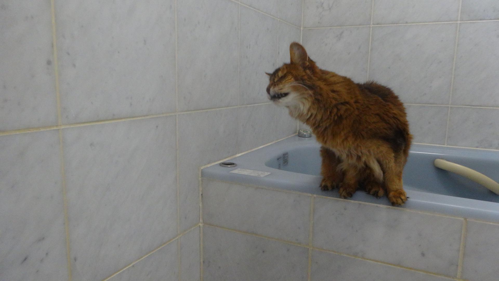 お風呂場でシャワーの水に食らいつくローズ