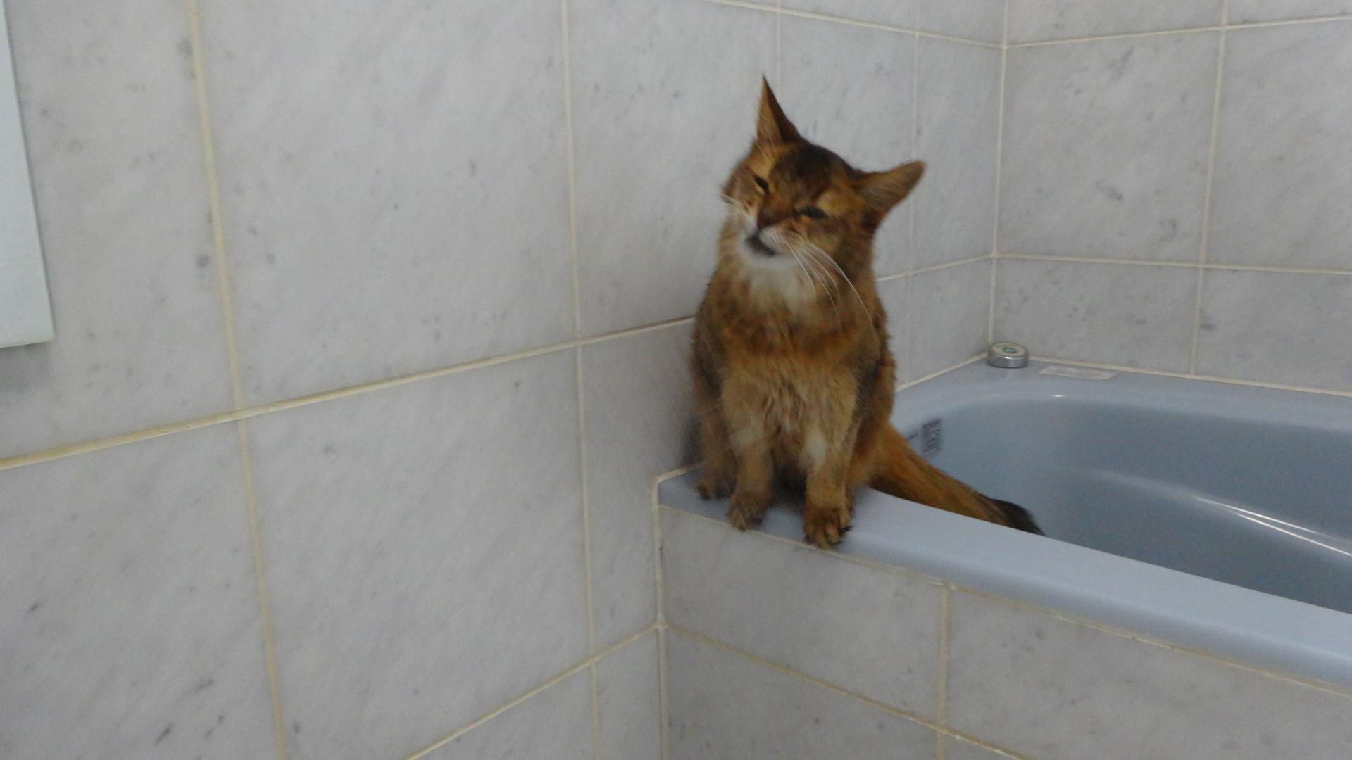 お風呂場でシャワーの水を飲もうとしているローズその2