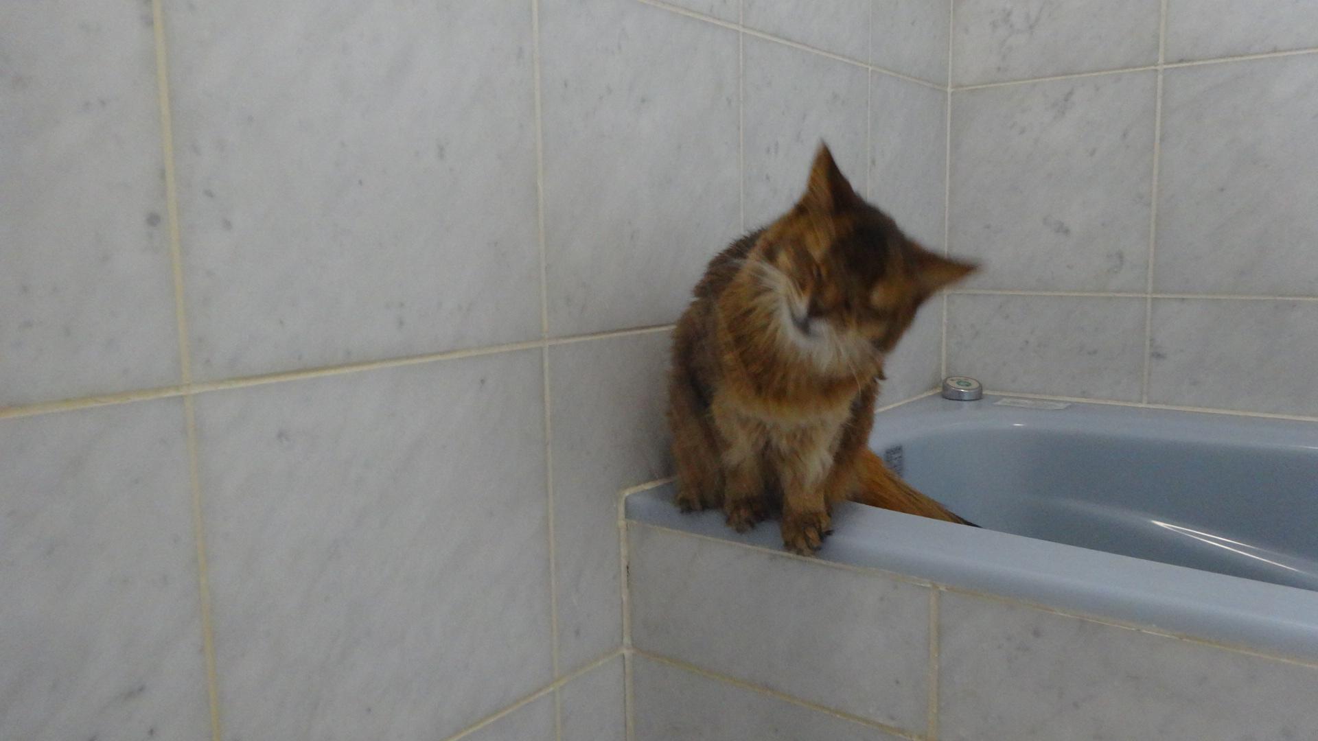 お風呂場でシャワーの水を飲もうとしているローズ