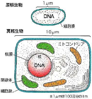 原核生物と真核生物を描いたイラスト
