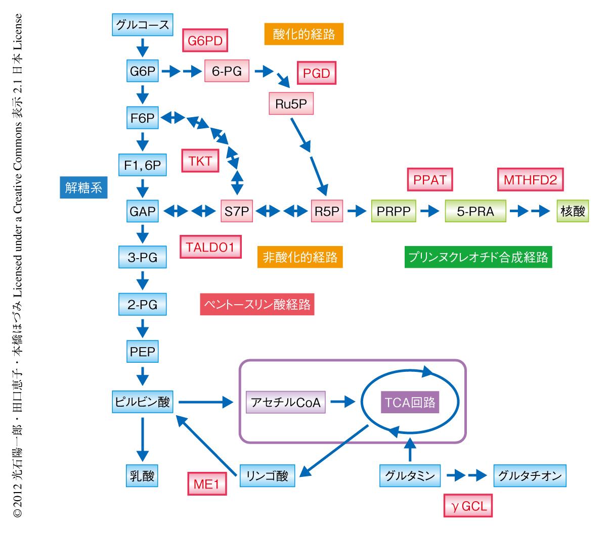 糖尿病におけるペントースリン酸経路の活性化と尿酸値増加の関連
