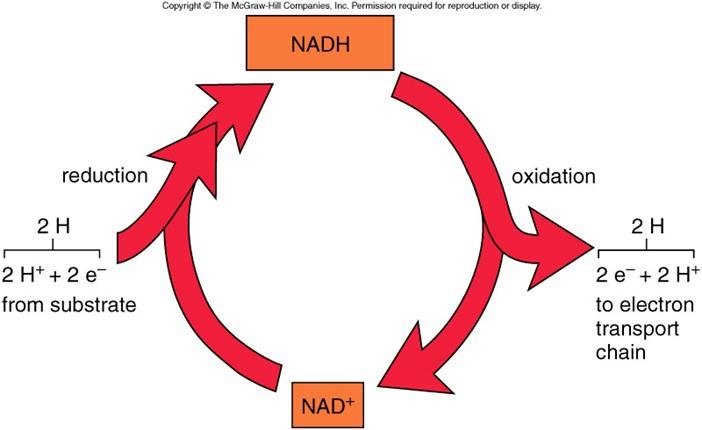 電子伝達体としてのNADの説明図