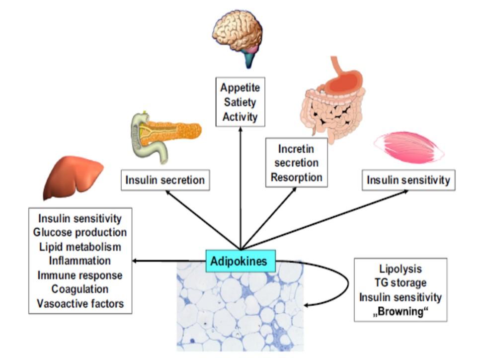 アデイポカインのさまざまな作用