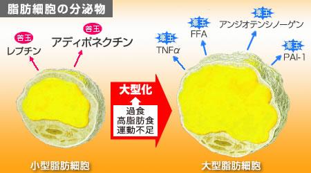 脂肪細胞の肥大化による悪玉アデイポカインの産生増加