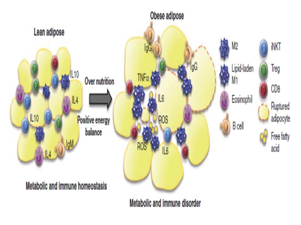 脂肪組織内への炎症性細胞浸潤